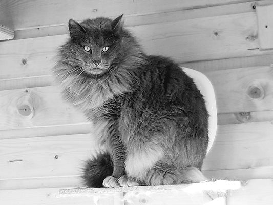 "SeidrKatts Norwegian Forest Cats ""Noynarock Zac"""