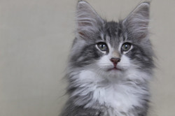 Blue Silver Tabby with White