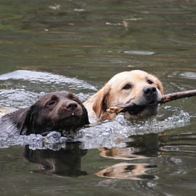 Dog Breeder | Labrador Retriever | Frakari Kennels | Granville