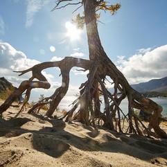 Ходульное дерево