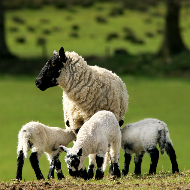 Lovely spring lambs