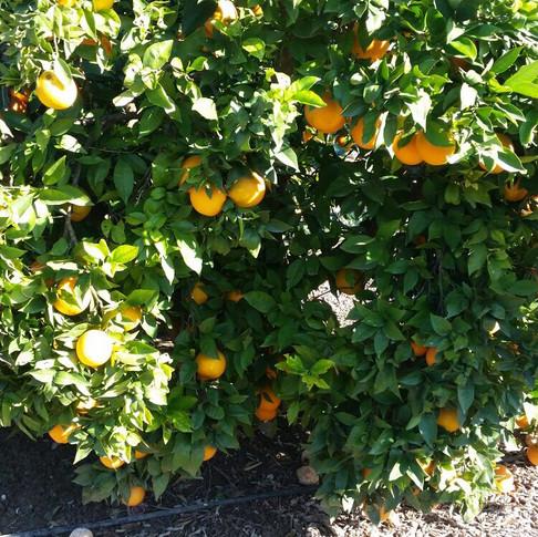 OKA Fruit Exports - Oranges