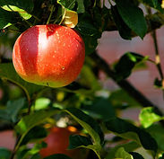 apple-apple-tree-branch-52517.jpg