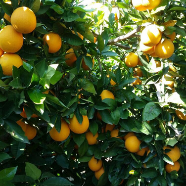 OKA Fruit Exports - Oranges
