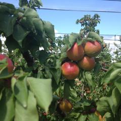 Oka Fruits Exports - Apricot