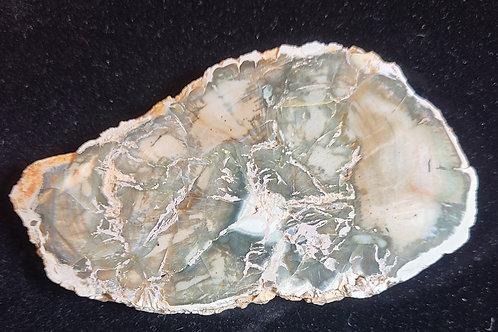 Petrified Wood Slice