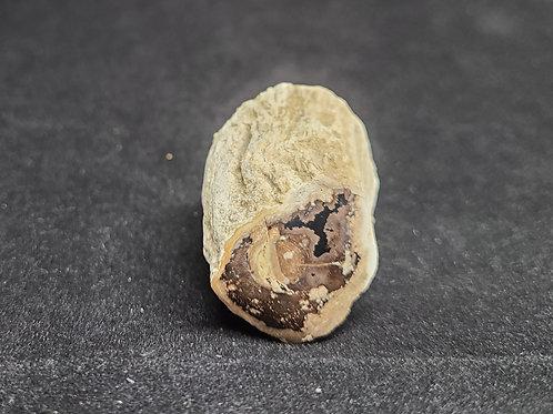 Petrified Wood Limbcast