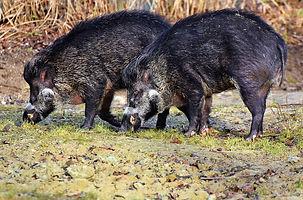 boar-3214069_960_720.jpg