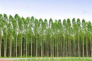 Measuring-Eucalyptus-and-Pulpwood.jpg