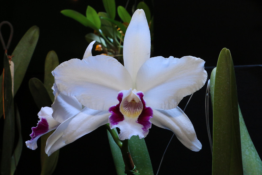 Laelia Purpurata, orquídea campeã 2016
