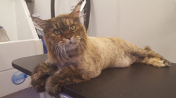 Maine Coon After