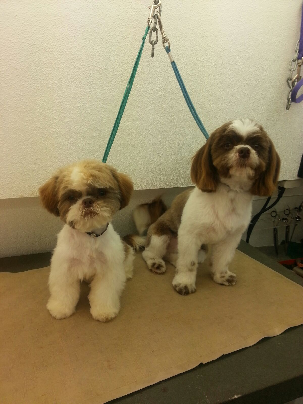 Two young shih tzu pups
