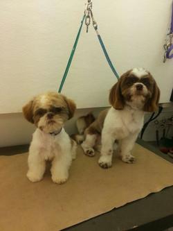 Two young shih tzu pups