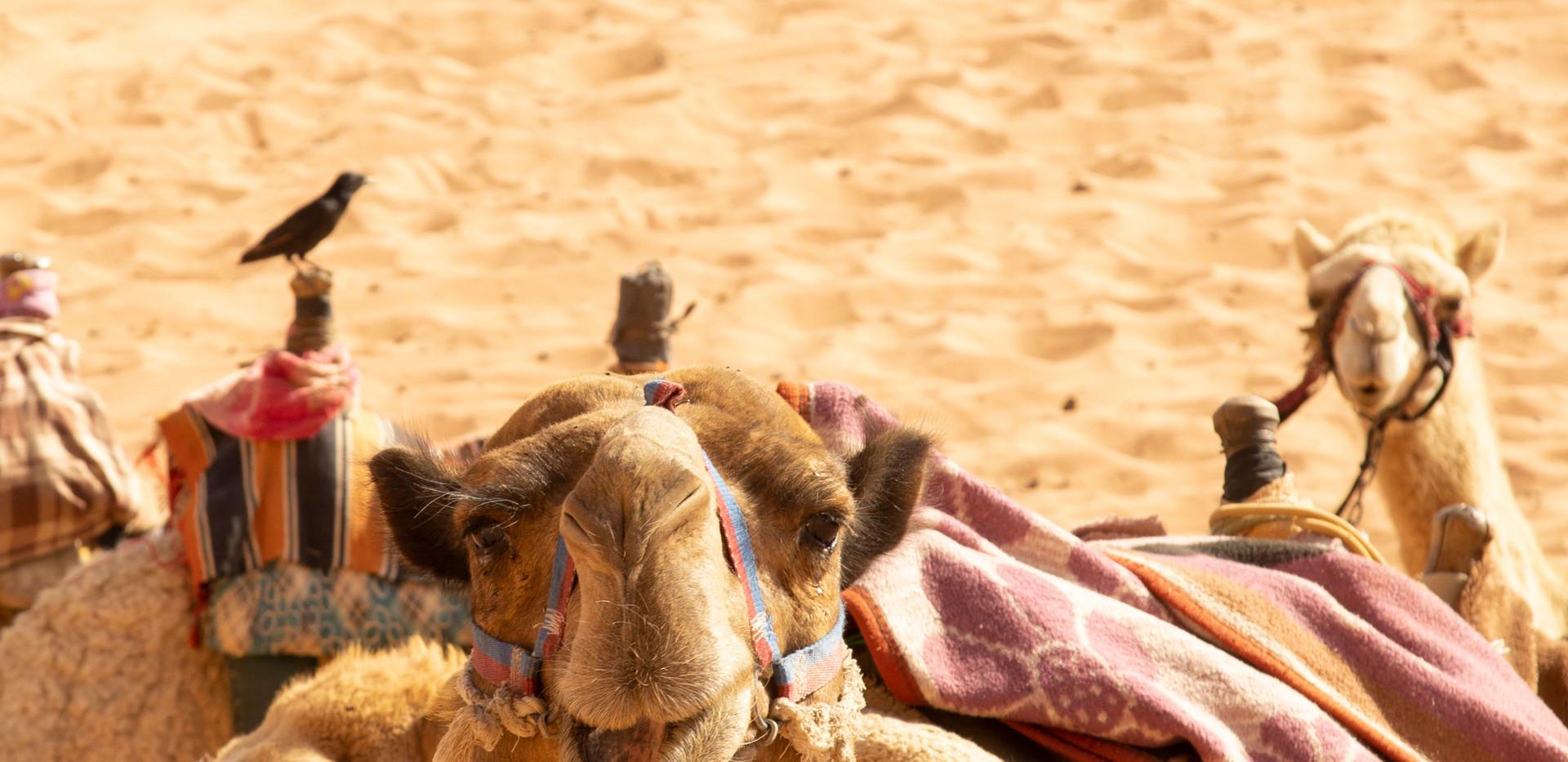Jordan camel portrait