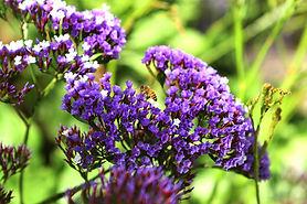Statice violet