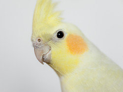 BC, Cockatiel