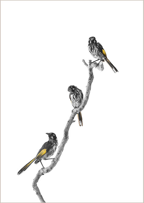 New-holland Honeyeater