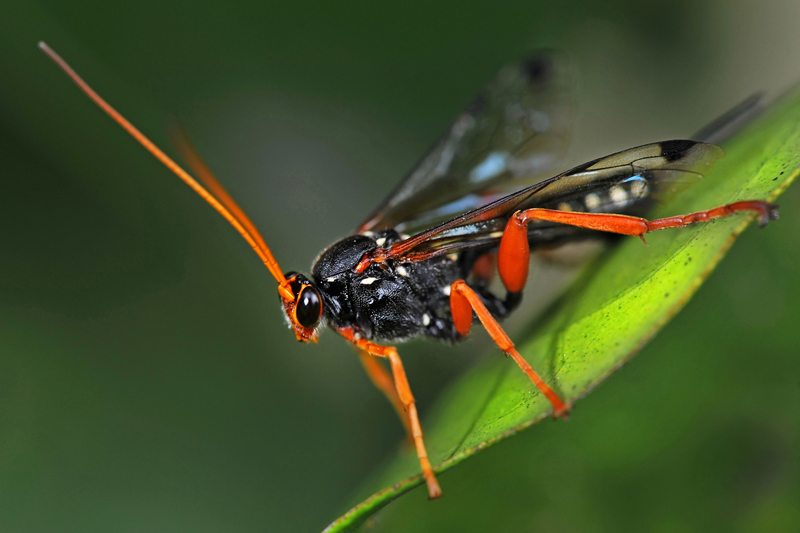 Orchard Dupe Parasitic Wasp
