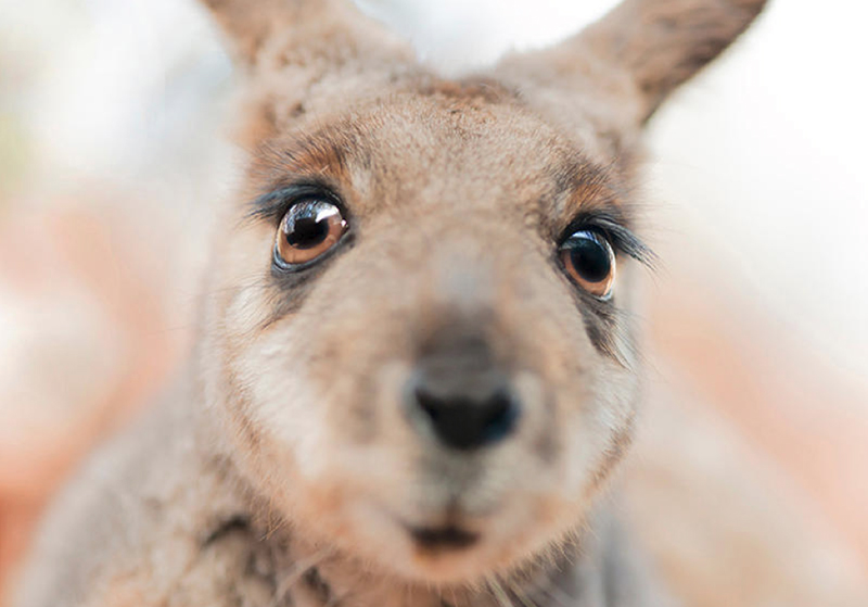 Jamie, Yellow-footed Rock wallaby
