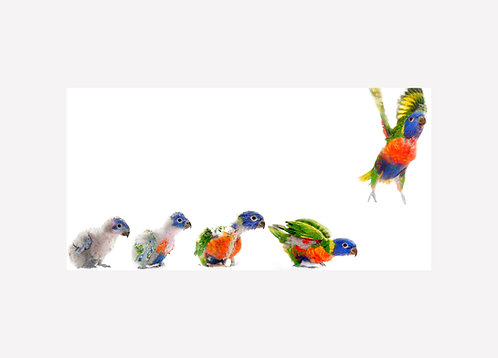 Rainbow Lorikeet Growth Progression - Matted Print