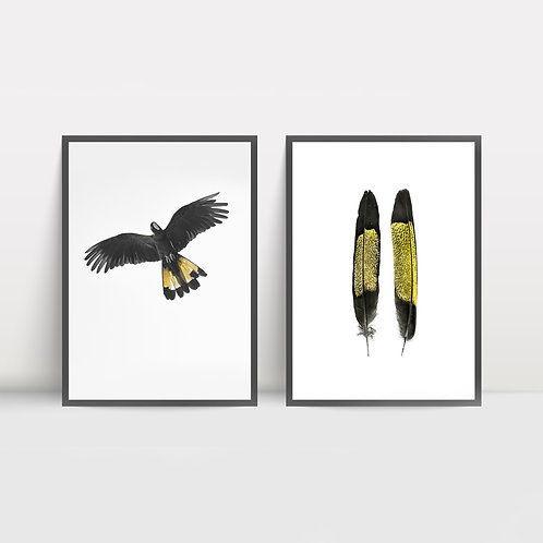 Print Set: Yellow-tailed Black Cockatoo Flight and Feathers