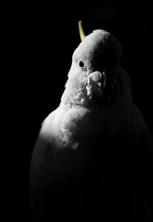 Urban Visitor - Featuring a Sulphur-crested Cockatoo