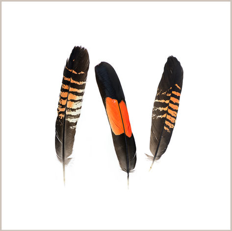 Red-Tailed Black Cockatoo Feathers