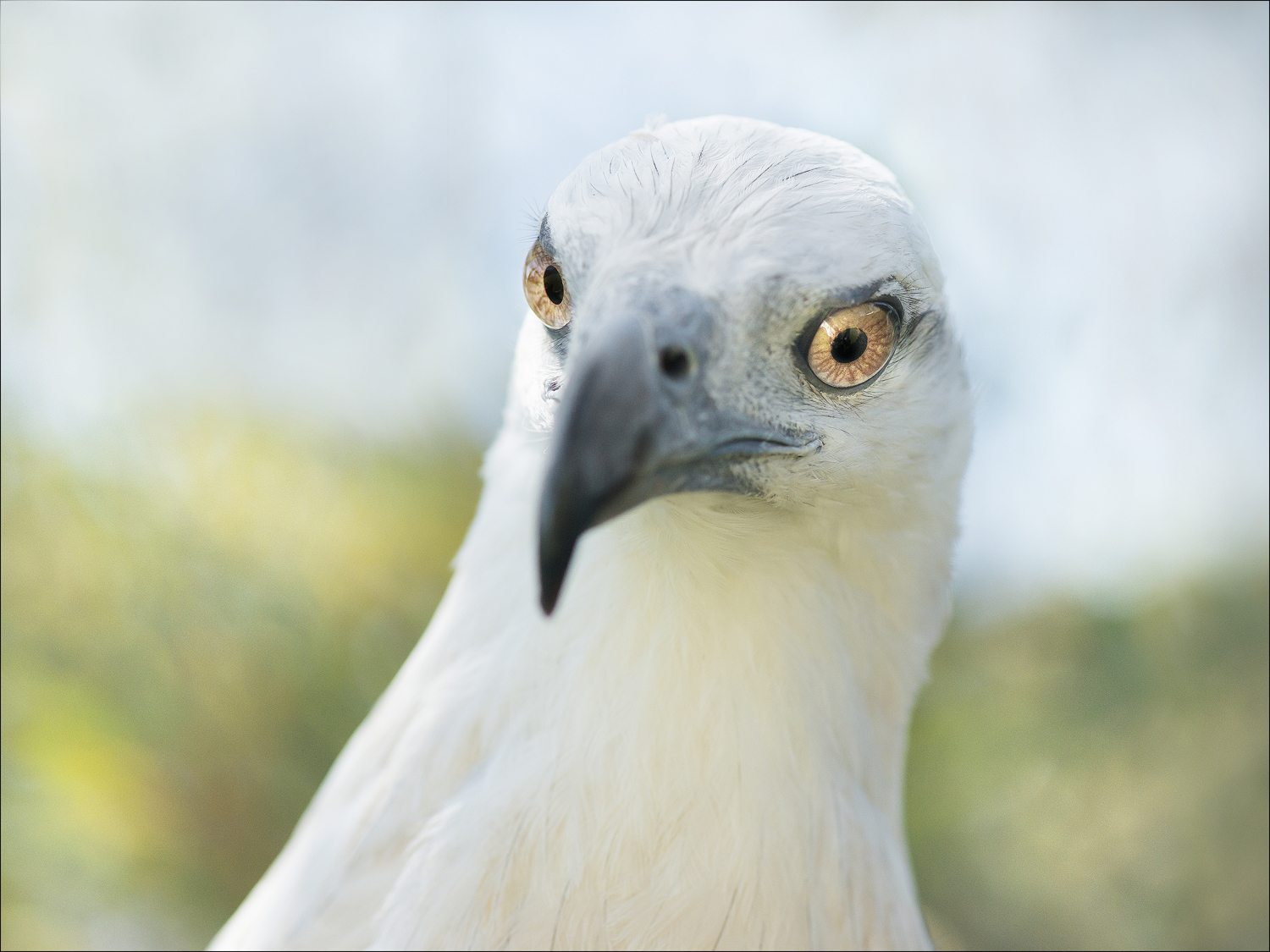 Maraki, White Bellied Sea Eagle