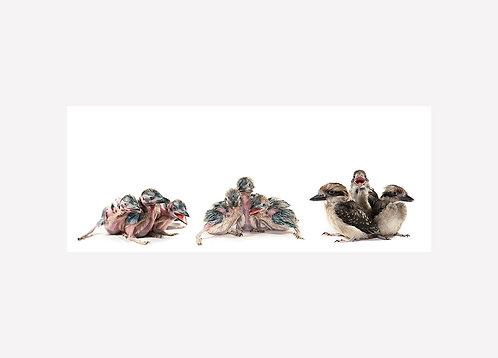 Kookaburra Illustration - Matted Print