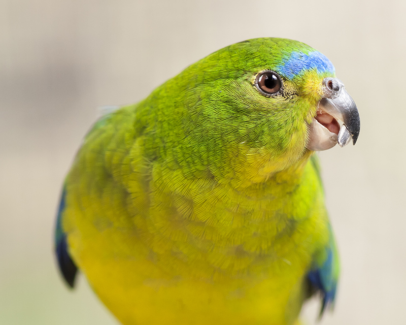 Orange Bellied Parrot