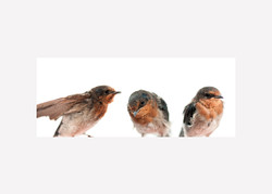 Welcome Swallows