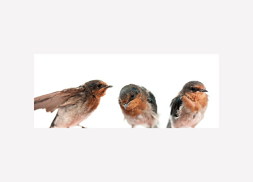 Welcome Swallow Illustration - Matted Print