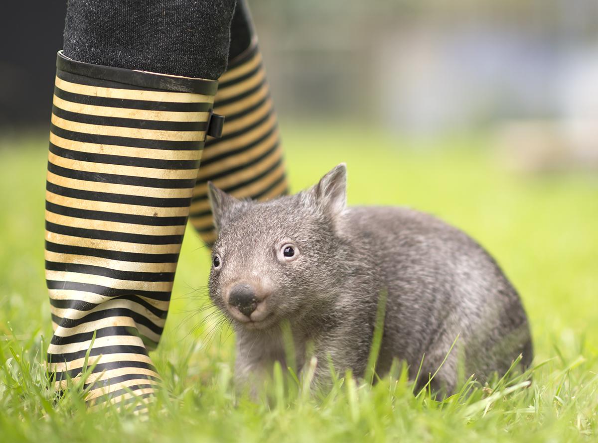 Bori, Baby Wombat