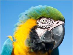 Mango, Macaw