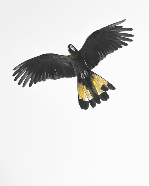 Yellow-tailed Black Cockatoo in Flight