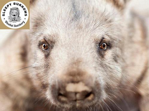 Meg, Hairy Nosed Wombat