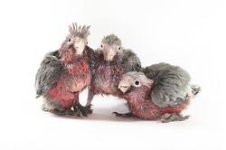 Nestling Galahs