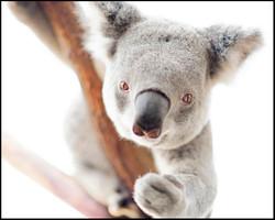 Sid, Koala
