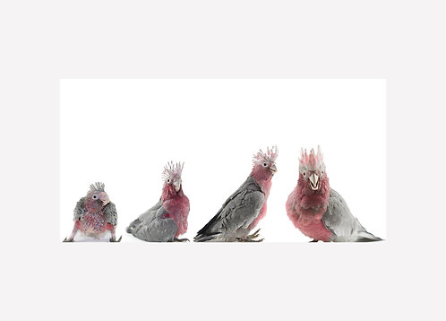 Galah Growth Progression - Matted Print