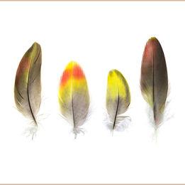 Regent Parrot Feathers