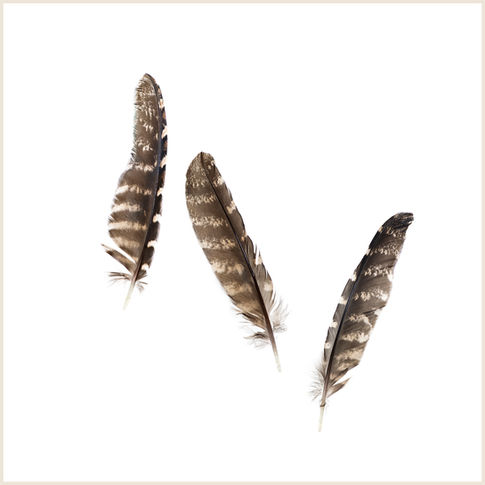 Tawny Frogmouth Feathers