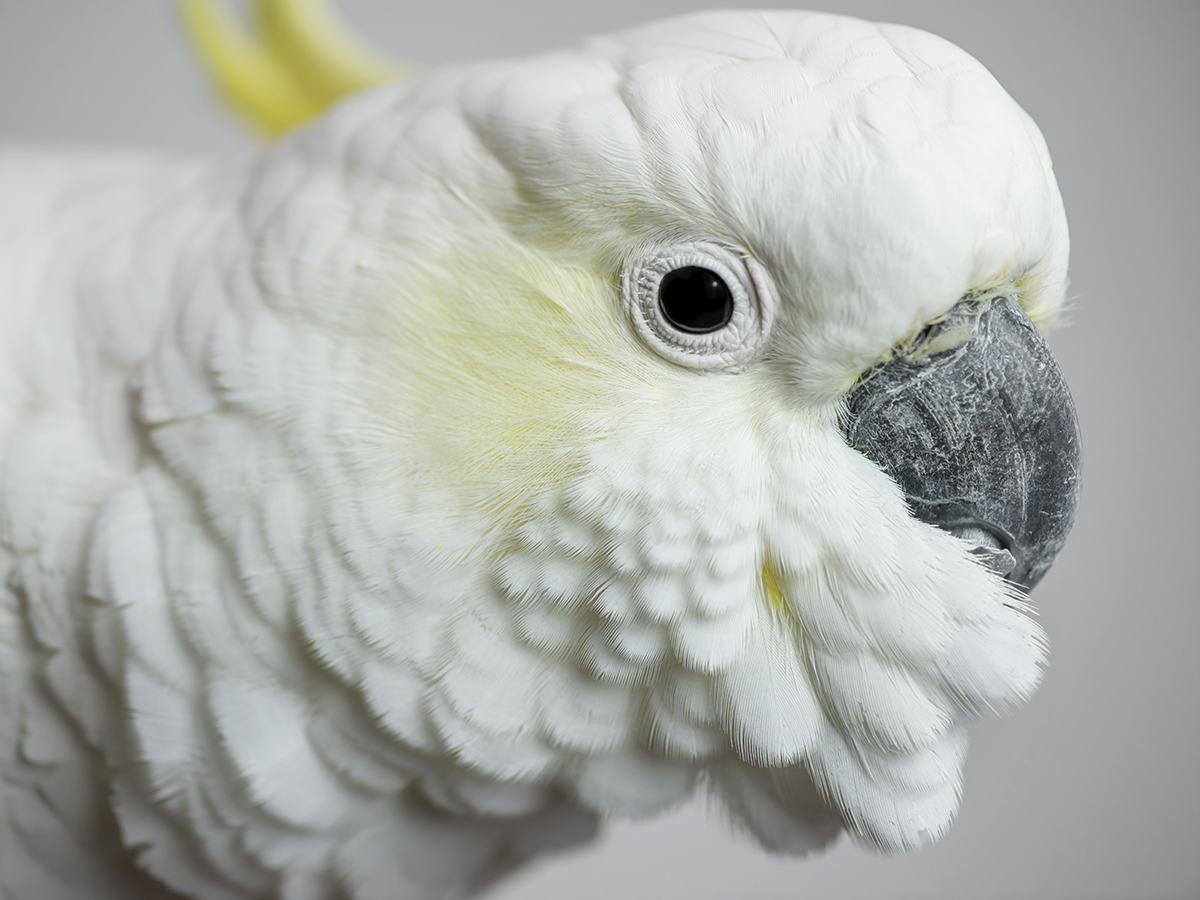 Casper, Sulphur Crested Cockatoo