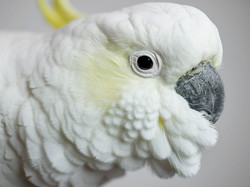 Casper, Sulphur Crested Cockatoo