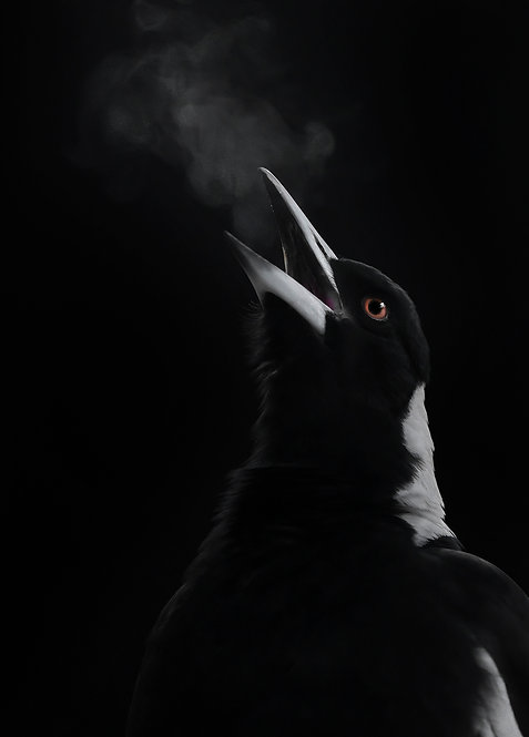 Hot Breath - Featuring an Australian Magpie