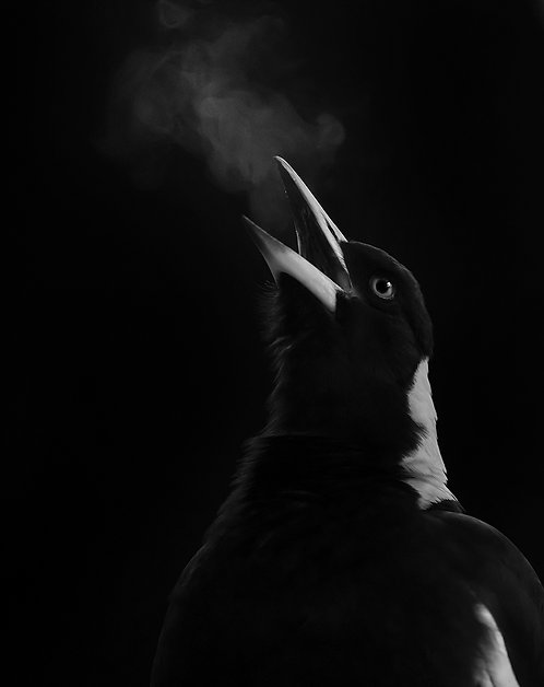 Song Breath - Featuring an Australian Magpie