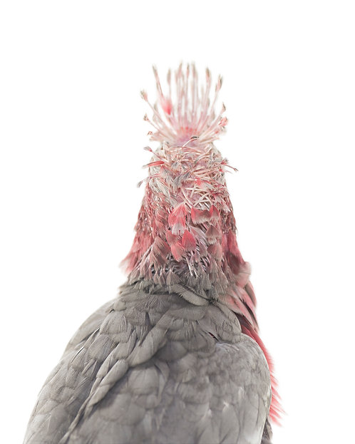 Sid, baby Galah (back view)