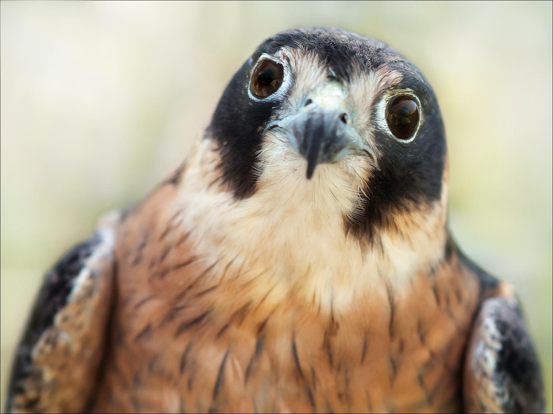 Hobbit, Australian Hobby Falcon