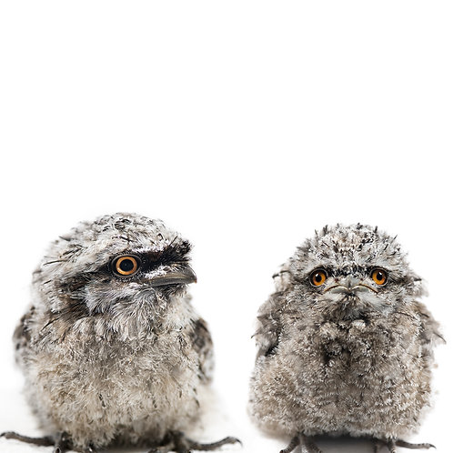 Tawny Frogmouth Siblings