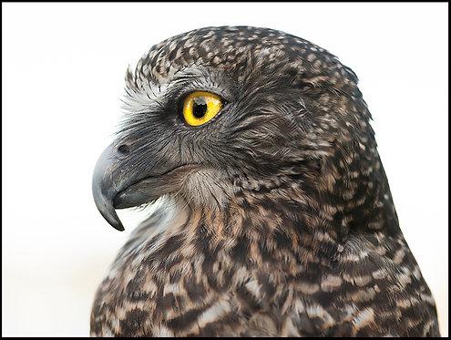 Nangaw, Powerful Owl