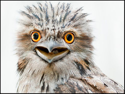 Rosie, Tawny Frogmouth